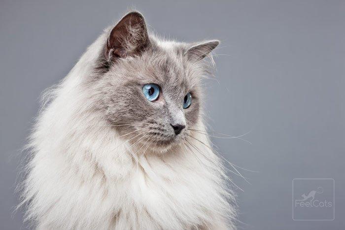 ragdoll-azul