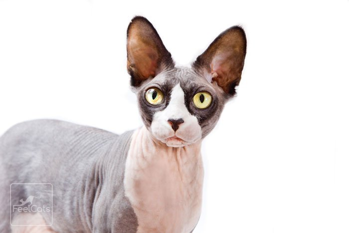 gatos-sphynx