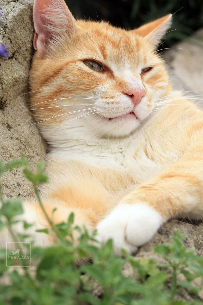 Catnip para gatos, ¿Qué es? ¿es peligrosa? | FeelCats