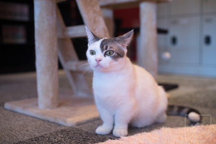 munchkin-gato-cuidados