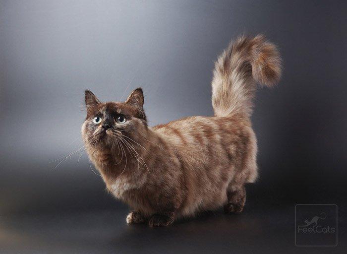 munchkin-gatos-salud