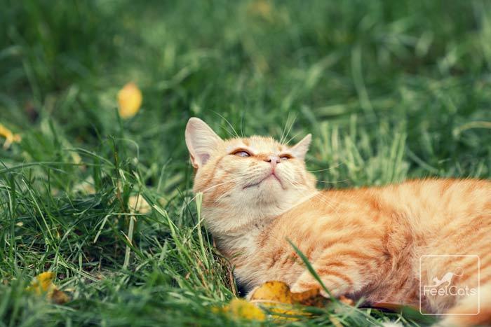 efectos-catnip-en-gatos