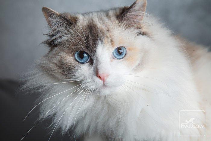 ragdoll-gato