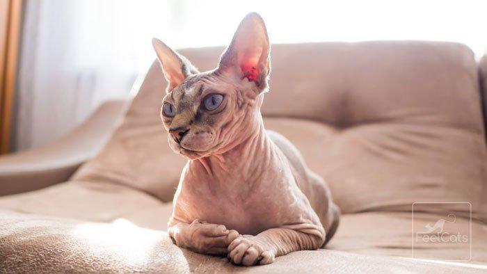 sphynx-gato