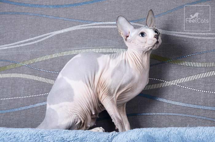 sphynx-gatos-esfinge