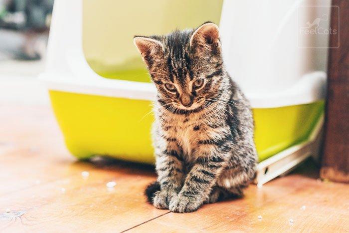contagio-toxoplasmosis-gatos
