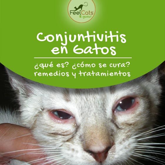 conjuntivitis-gatos-curar-tratamiento