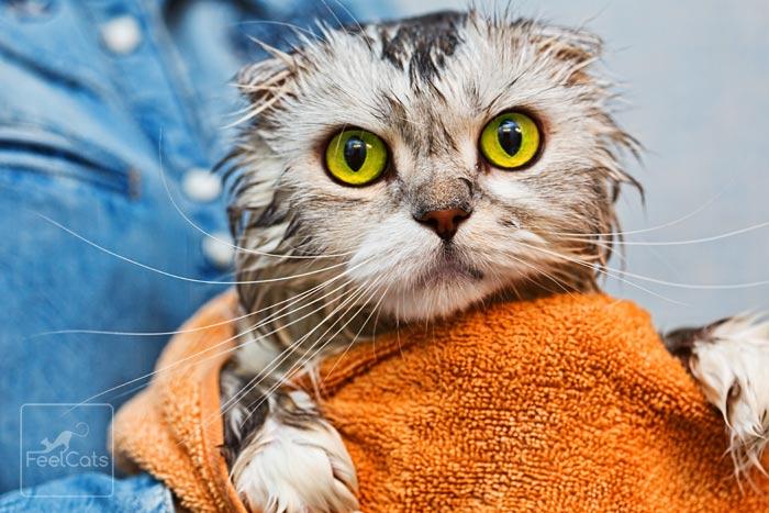 después de bañar al gato