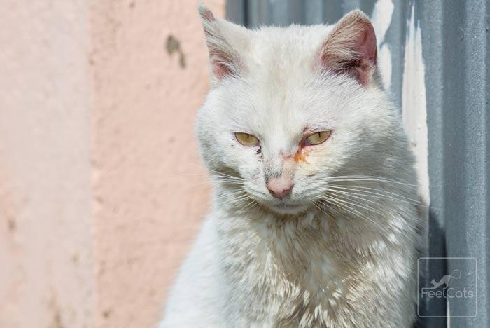 que enfermedades tiene un gato