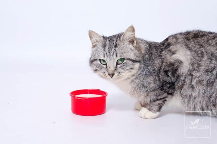 alergia-intolerancia-leche-gato