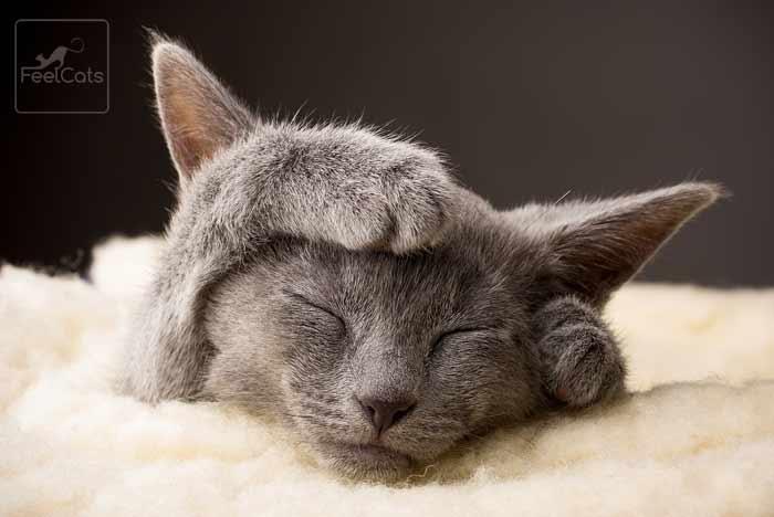 gato-azul-raza