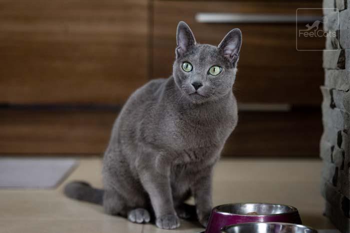 gato-azul-ruso-caracter