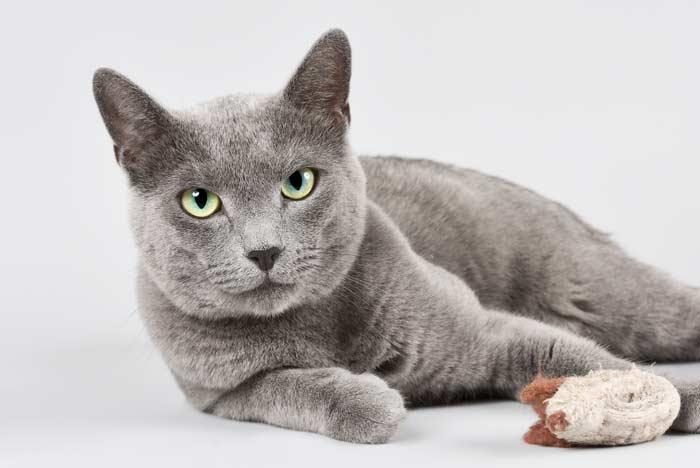 Gato Azul Ruso: Carácter, cuidados y curiosidades