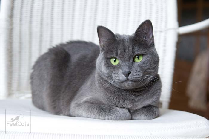gato-azul-ruzo-precio