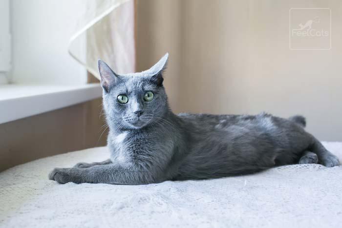 gato-gris-ruso