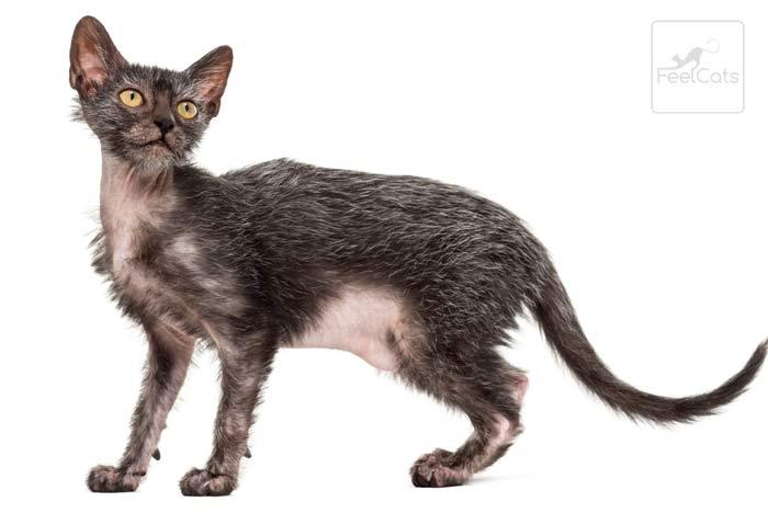 cuidados-gato-lykoi