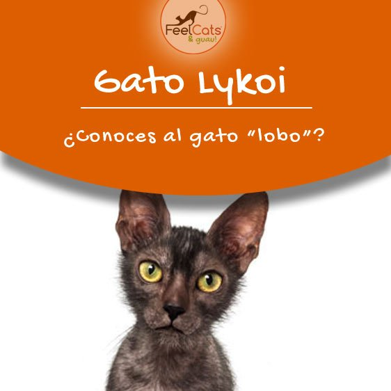 gato-lykoi-lobo