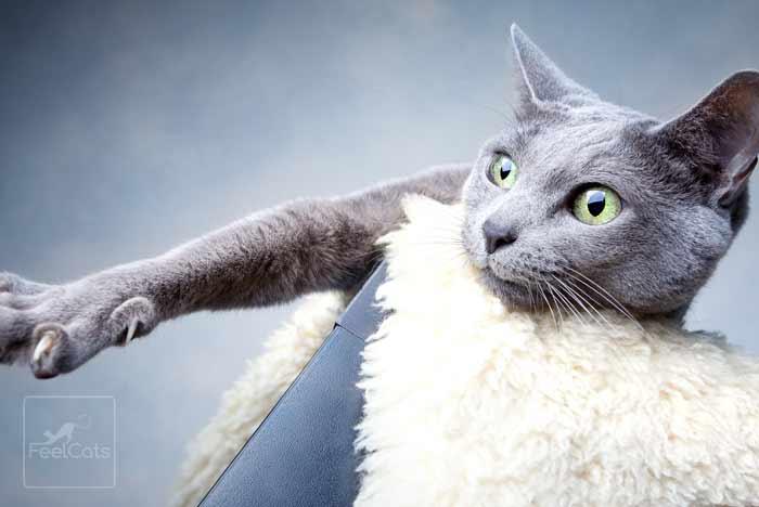 gato-raza-azul-ruzo