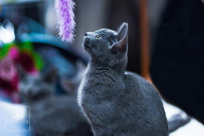 gato-ruso-azul