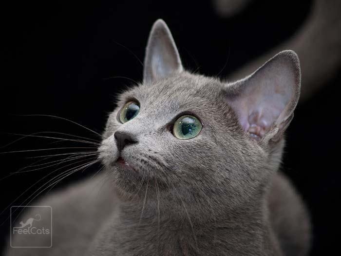 gato-ruso