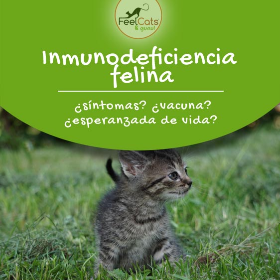 inmunodeficiencia-felina-gatos