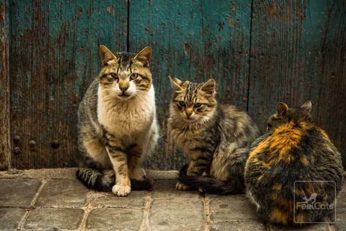 Resultado de imagen para inmunodeficiencia felina