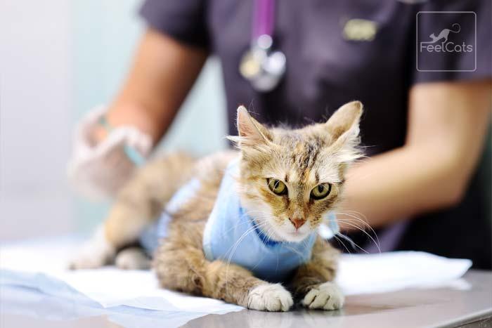 diagnostico-leucemia-felina