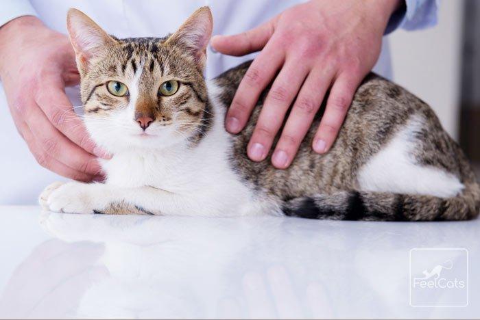 Leucemia Felina En Los Gatos Síntomas Vacuna Contagio Feelcats Blog