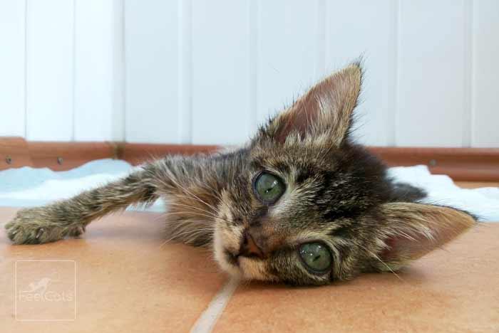 leucemia-felina-gatos