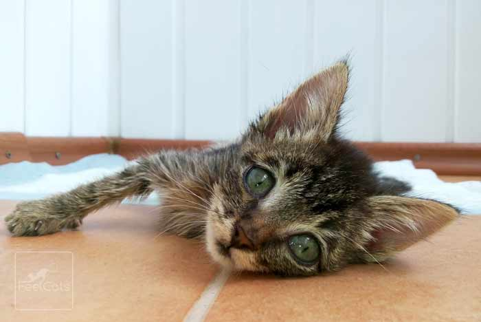 gatito-con-leucemia-felina