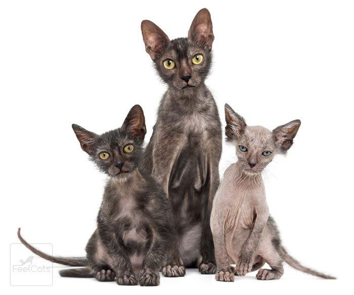 gatitos-lykoi