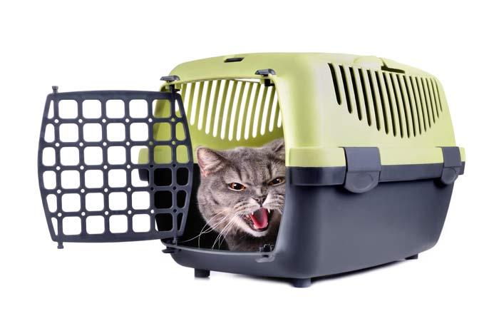 gato-bufa-al-ir-al-veterinario