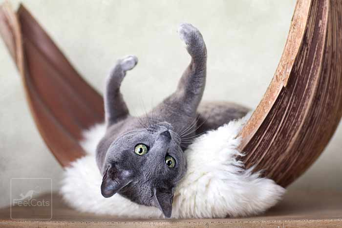 russian-blue-cat