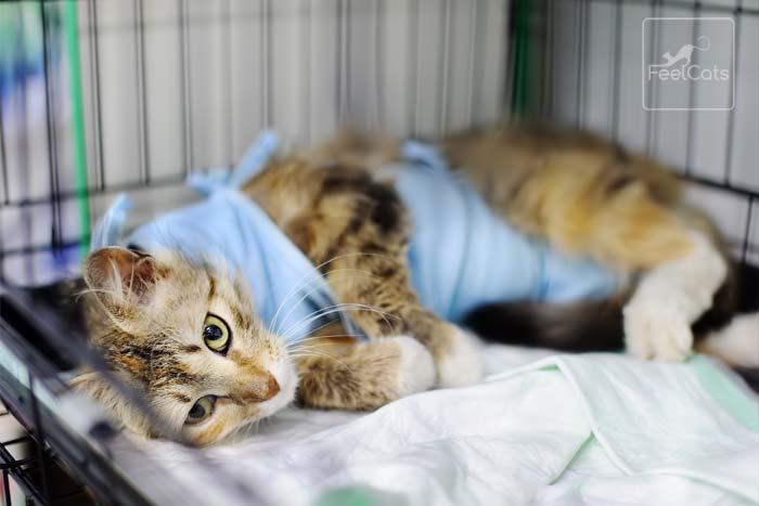 gato-enfermo-de-leucemia-felina