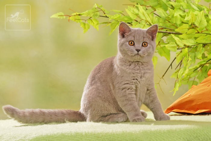 british-shorthair-lilac