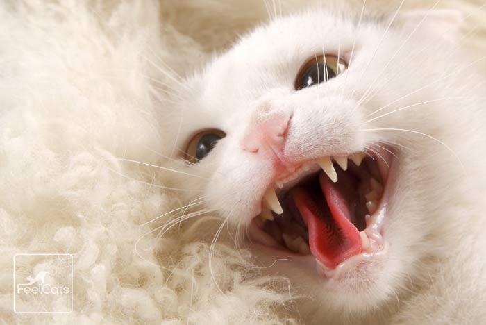 dientes-gatos