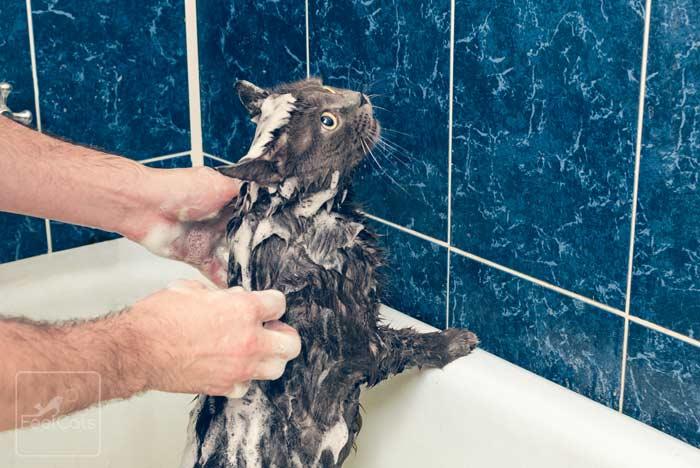 Pulgas En Gatos Como Eliminar Y Quitar Las Pulgas A Un Gato Feelcats