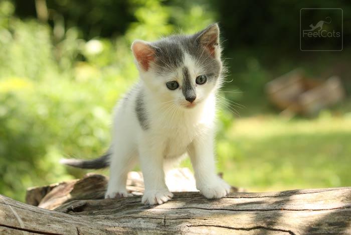 gatito-comun-europeo