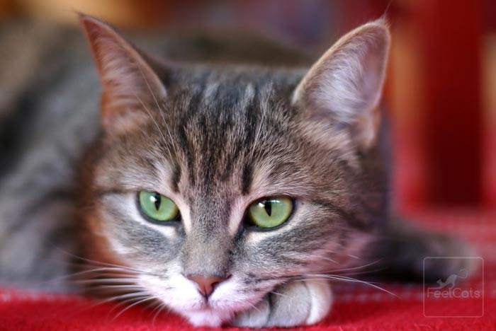 gato-europeo-atigrado-ojos-verdes