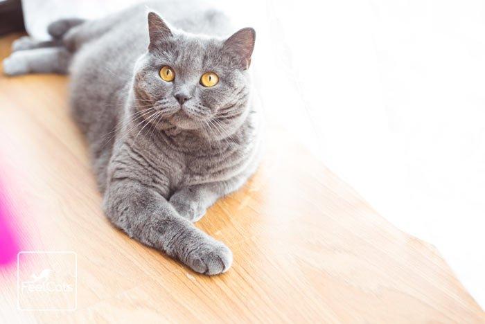 gato-azul-britanico
