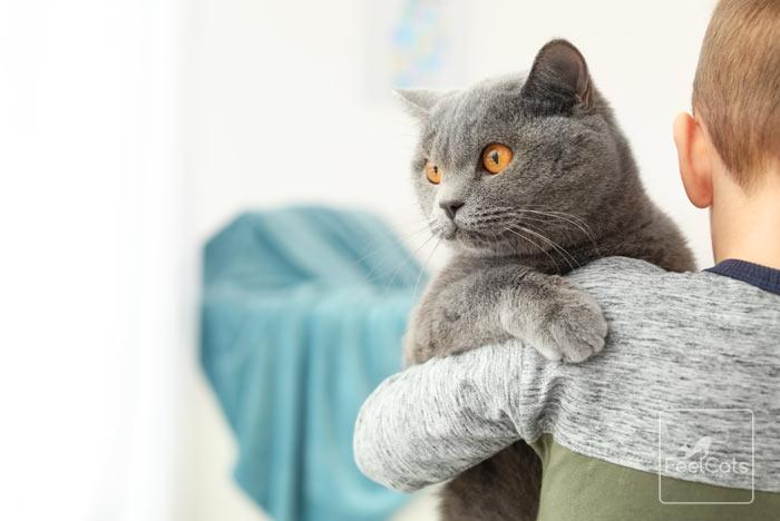 gato-british-shorthair