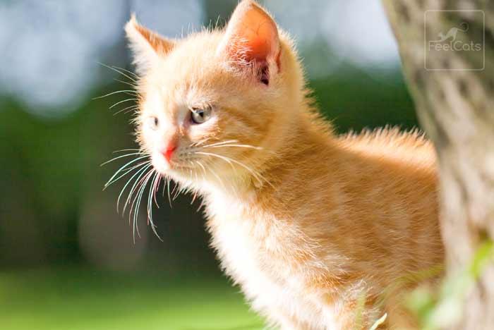 gato-comun-europeo-romano