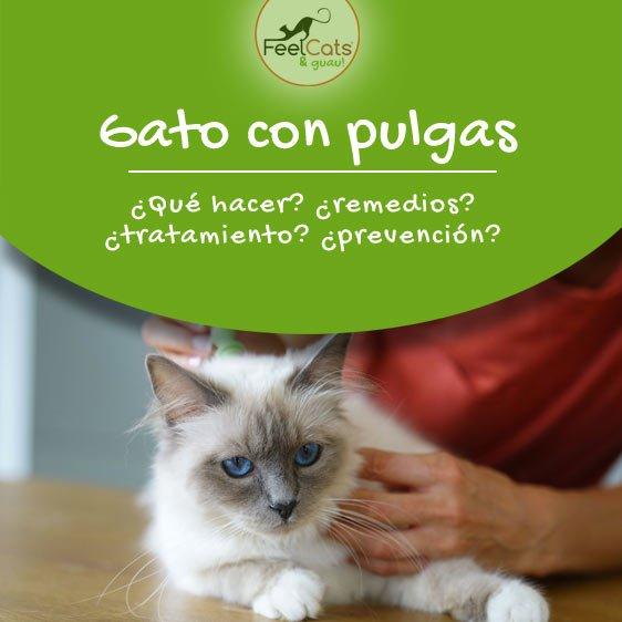 Pulgas En Gatos Como Eliminarlas Y Remedios Caseros Feelcats
