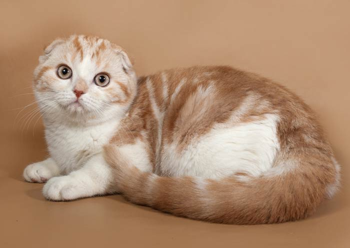 gato-scottish-fold-orejas.jpg