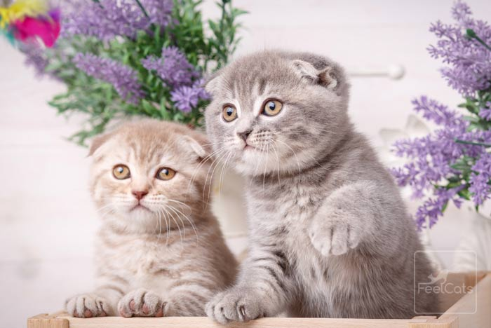 scottish-fold-gatitos
