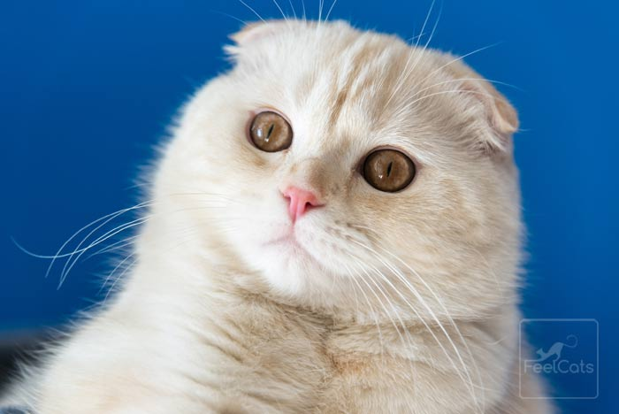 gato-scottish-fold