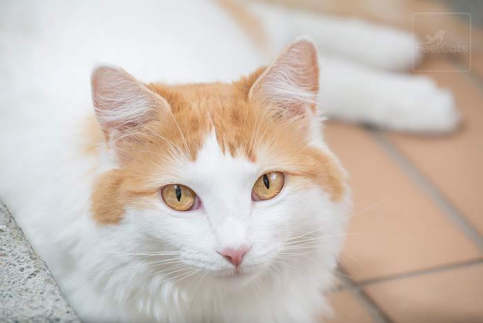 gato-van-turco