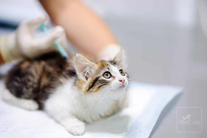 tratamiento-hongos-en-gatos