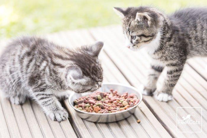 peritonitis-en-gatos-jovenes