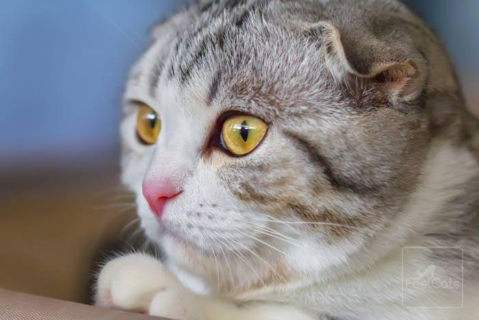 scottish-fold-ojos-verdes